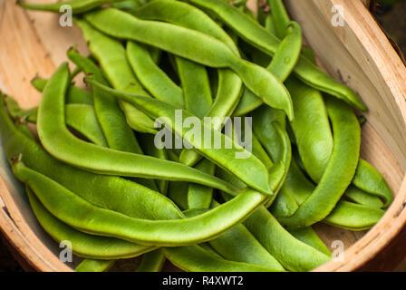 Freshly picked home grown runner Bean Harvest - Stock Image