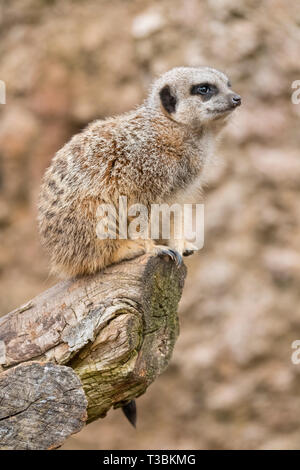 A meercat stands guard over the mob. - Stock Image