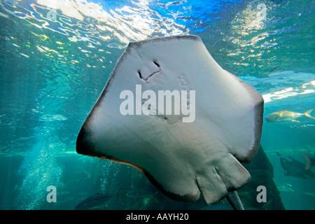 south africa cape town waterfront aquarium stingray - Stock Image