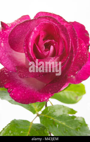 Close-up of a beautiful, red rose showing stem with dew or raindrops on the petals - Stock Image