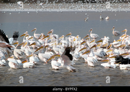 The Great White Pelican, Pelecanus onocrotalus - Stock Image