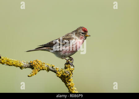 Common redpoll, Latin name Carduelis flammea, perched on a lichen covered twig, set against a pale green backgournd - Stock Image