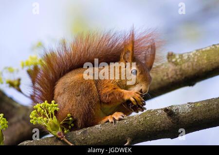 Squirrels, Sciurus vulgaris, Eichhörnchen (Sciurus vulgaris) - Stock Image