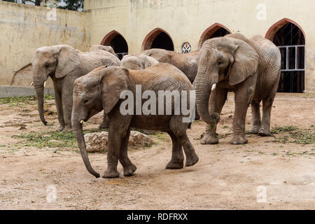 African elephants at Lisbon Zoo, Portugal - Stock Image