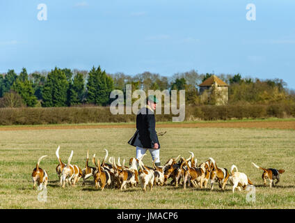 The East Lincs (Lincolnshire) Basset Hounds - The huntsman and the pack of hounds away for the day hunting crossing meadow - Stock Image
