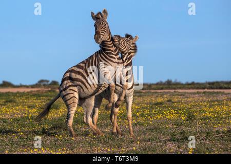Plains zebra (Equus quagga) fighting, Addo Elephant national park, Eastern Cape, South Africa, September 2018 - Stock Image