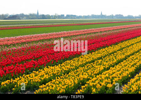 Lisse, Holland - April 18, 2019: Traditional Dutch tulip field with rows of red and yellow flowers and church towers in the background - Stock Image