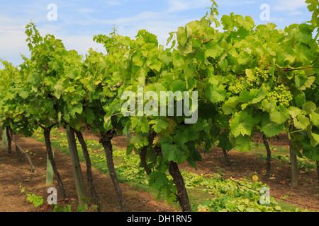 Rows of vines with bunches of ripening white grapes growing on a vineyard in late summer at Biddenden Kent England UK Britain - Stock Image