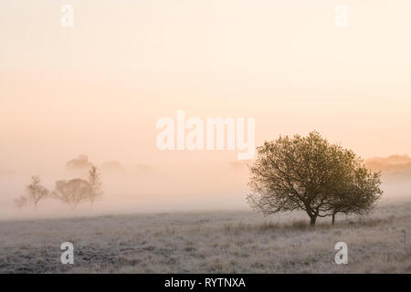 Trees on Derbyshire moorland on a misty morning at sunrise. - Stock Image