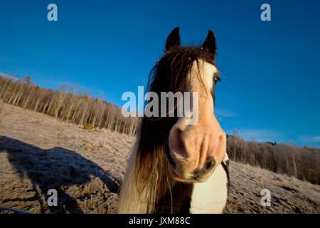 Portrait of a Tinker horse on a frosty pasture. - Stock Image