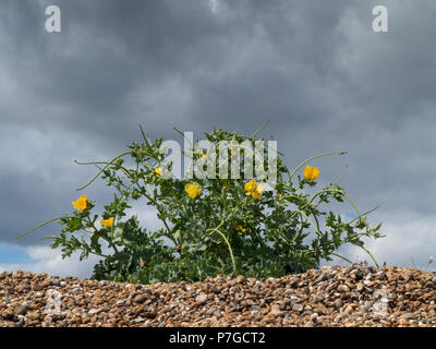 A small clump of yellow hornpoppy, (Glaucium flavum) at the top of a shingle beach against a dark sky - Stock Image