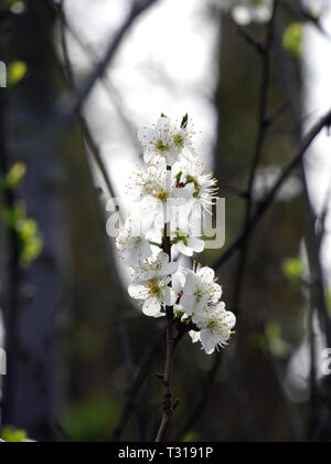 Close up of Blackthorn flowers - Prunus Spinosa in the Spring - Stock Image