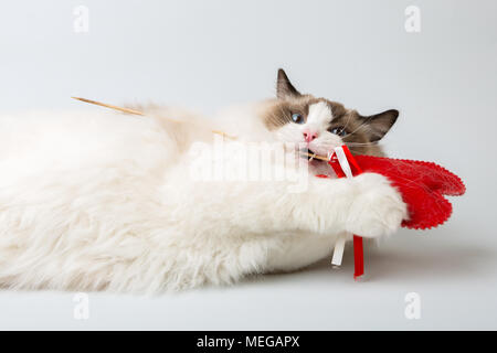 regdoll male cat lying on white background eating red heart - Stock Image