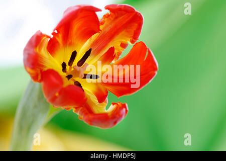 opening red parrot tulip still life - radiant new life Jane Ann Butler Photography  JABP1805 - Stock Image