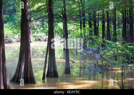 Bald Cypress trees in Fourmile Slough at Camden Wildlife Management Area in Tennessee - Stock Image