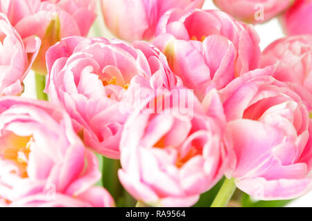 Tulip flowers in shades of pink against white, nostalgic spring background template for florists or greeting cards - Stock Image
