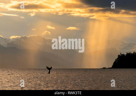 Humpback whale (Megaptera novaeangliae) lifts its flukes as it feeds in Lynn Canal at sunset, Southeast Alaska; Alaska, United States of America - Stock Image