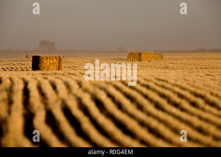 Hay Bales and rows harvest in Saskatchewan Canada - Stock Image