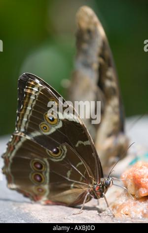 Feeding butterflies - Stock Image