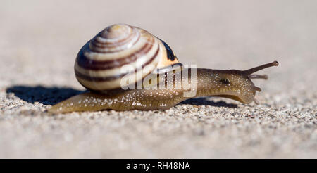 Grove Snale side view: A small Grove Snail inches across the surface of a rough concret sidewalk. - Stock Image