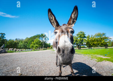 Funny donkey close-up standing on a road in a rural environment - Stock Image