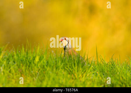 Partridge, red legged partridge (Alectoris rufa)at dawn in wet grass.  Clean background and green grass covered in morning dew.  Close up of head - Stock Image