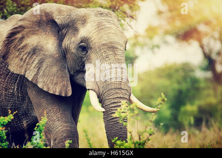 Portrait of a big beautiful elephant outdoors, wild animal, safari game drive, Eco travel and tourism, Kruger national - Stock Image