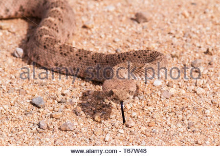 Western Diamond-backed Rattlesnake, Crotalus atrox, in Arizona USA - Stock Image