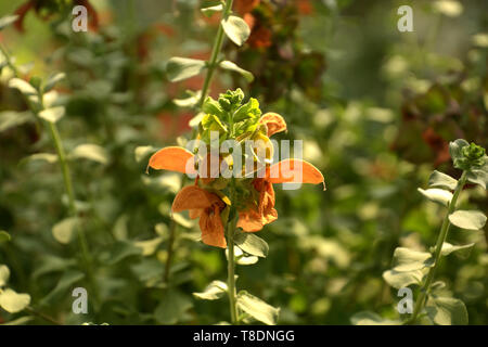 salvia repens orange colored flowers in a glass house in late spring, spice and medicinal sage in bloom - Stock Image
