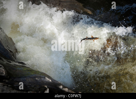 photograph of wild salmon jumping in the river dee in scotland - Stock Image
