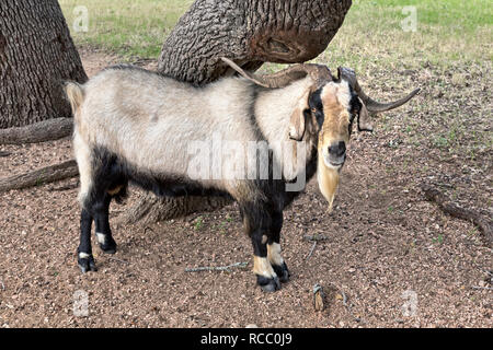 Spanish Ram Goat, standing by live oak tree, field pasture,  Gillespie County, Texas, United States, - Stock Image