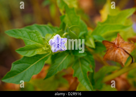 Nicandra Physalodes - Shoo Fly Plant Flower also known as the Apple-of-Peru Flower, with new flower and ripe fruit - Stock Image