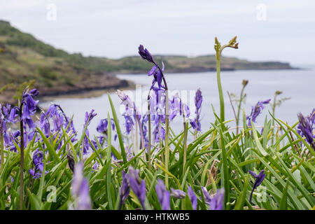 Bluebells flowering on seashore with Bracken fronds in early summer. Loch Scridain, Bunessan, Isle of Mull, Argyll - Stock Image