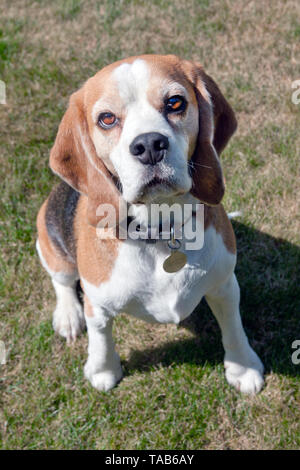 Beagle dog, young adult outdoors - Stock Image