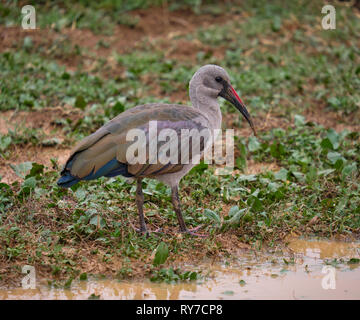 Hadeda Ibis (latin: Bostrychia hagedash) on ground by a marshy puddle .  Lateral profile - Stock Image