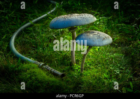 Large Mushrooms At Night With Garden Hose - Stock Image