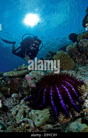 Crown of thorns starfish (Acanthaster planci) with scuba diver observing, Gaafu Alifu Atoll, Maldives - Stock Image