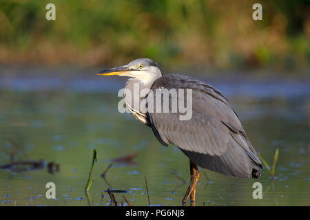 Grey heron (Ardea cinerea) stands in the water, Middle Elbe Biosphere Reserve, Saxony-Anhalt, Germany - Stock Image