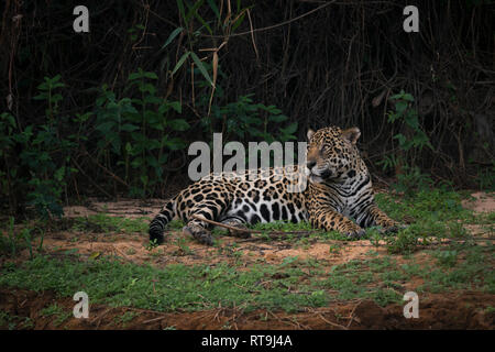 A Jaguar resting on a riverbank in North Pantanal, Brazil - Stock Image