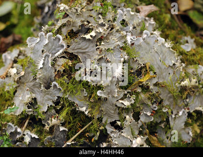 A brown  Dog Lichen (Peltigera species) growing in damp mossy, rocky woodland, Llangattock, Crickhowell, Powys, - Stock Image