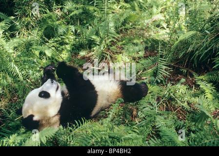 Young giant panda lying down among ferns playing with bamboo, Wolong China - Stock Image