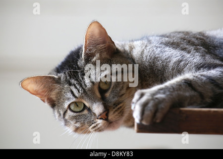Close up of a cat, lying on the table - Stock Image