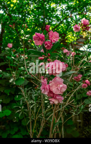 Fragrant  blooming terry flowers of pink oleander on the background of fruit green trees in the summer garden - Stock Image