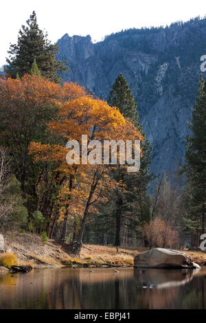 Cottonwood tree on the Merced River during fall. Yosemite Valley, Yosemite National Park, Mariposa County, California, - Stock Image