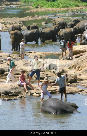 Elephants playing in the river near the Pinawela Elephant Orphanage Sri Lanka - Stock Image