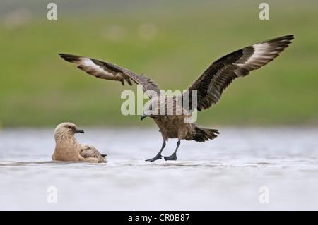 Great skua or bonxie (Stercorarius skua) adult landing on freshwater loch. Shetland Isles. June. - Stock Image