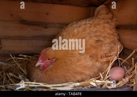 Hen with egg, Laying hen, Single buff coloured broody Cochin chicken in henhouse, England, UK - Stock Image