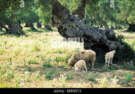 Mallorca Majorca Spain Balearic Islands Baleares sheep lamb grazing in ancient olive grove landscape meadow. Summer - Stock Image