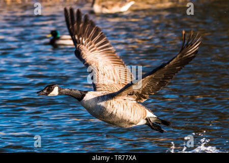 Canada Goose taking off at the Serpentine Lakes, Wimpole Estate, Cambridgeshire, UK - Stock Image