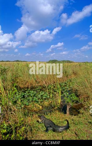 Alligator in slough along Shark Valley Tram Road in Everglades National Park, Florida, USA - Stock Image